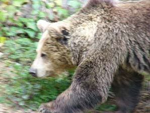 Bear. Proaza, Asturias, Spain